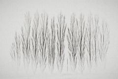 isp_oe_abs_poplars_in_the_mist